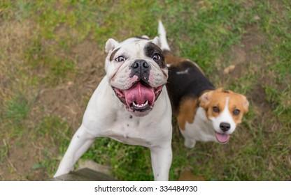 English bulldog and beagle dog waiting for reward