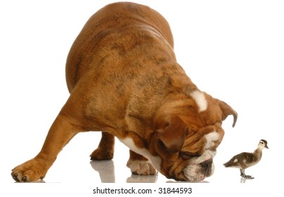 english bulldog bent down smelling a baby ducks backside
