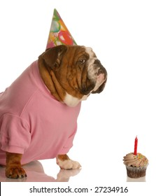 english bulldog with birthday party hat sitting in front of chocolate cupcake