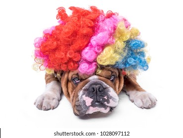English bulldog bored and wearing clown wig,selective focus and isolated on white background