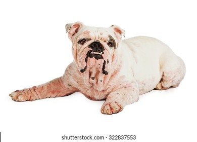 English Bulldog breed dog with a severe case of Demodicosis, also called demodectic mange which is a skin condition caused by mites