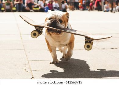 English Bulldog Carrying Skateboard in Mouth
