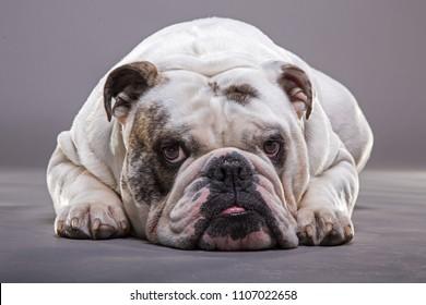 English bulldog close up front