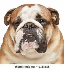 English bulldog. Close-up portrait on white background