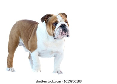 English bulldog close-up red white in the rack in front of white background
