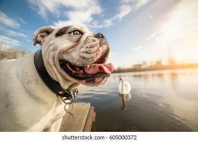 English Bulldog dog on vacation
