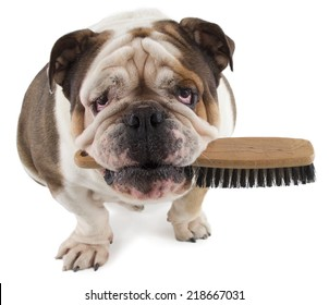 English bulldog dog sit with a brush in his mouth isolated on white background