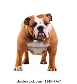 English Bulldog dog in studio, isolated on white background