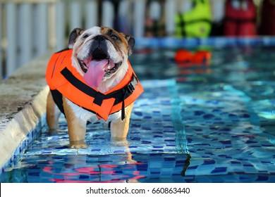 English Bulldog, Dog wear life jacket in swimming pool