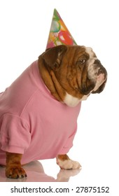 english bulldog dressed up in birthday hat on white background