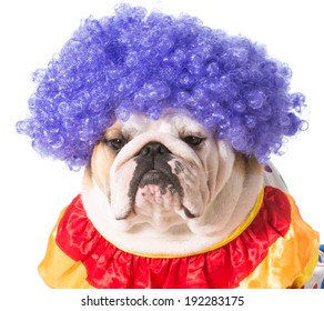 english bulldog dressed as a clown on white background