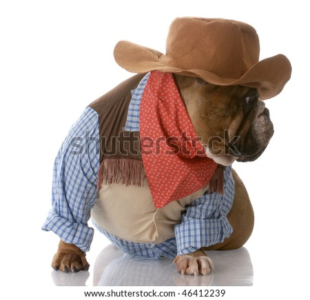 English Bulldog Dressed Cowboy Reflection On Stock Photo Edit Now