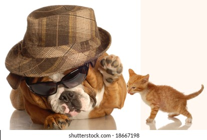 english bulldog dressed up in glasses and fedora  ready to  hit down cute kitten