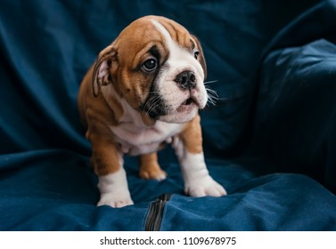 English bulldog female puppy,selective focus