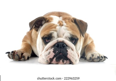 english bulldog in front of white background