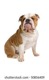 English bulldog isolated on a white background