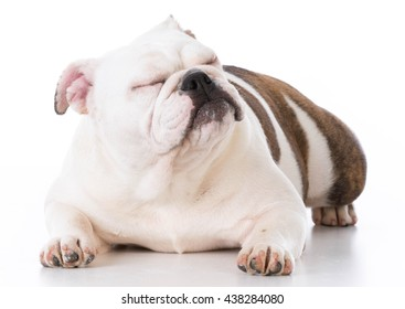 english bulldog laying down ignoring viewer on white background