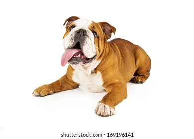 English Bulldog laying down and looking up with attention with his tongue sticking out