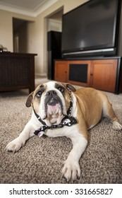 English Bulldog laying in a living room on the carpet