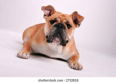 English Bulldog laying on her stomach looking at the camera