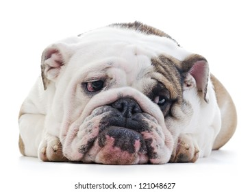 English Bulldog laying over white background, shy looking off camera