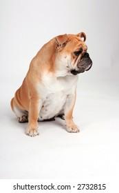 English bulldog looking away from the camera