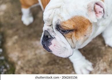 English Bulldog looking in Thailand