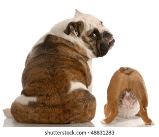 english bulldog mother and puppy with back to viewer with reflection on white background