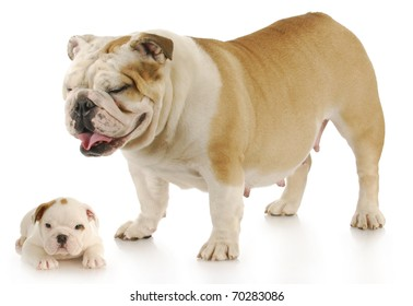 english bulldog mother standing over her puppy - six weeks old with reflection on white background