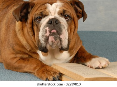 english bulldog mulling over the pages of a novel