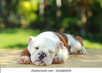 English Bulldog in Natural green