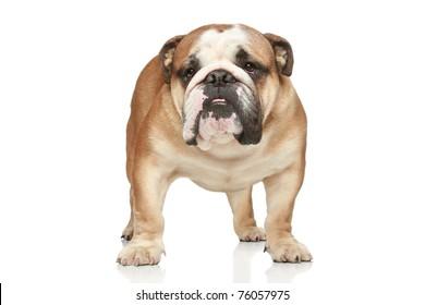 English bulldog on white background. Front view