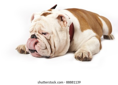 english Bulldog on a white background