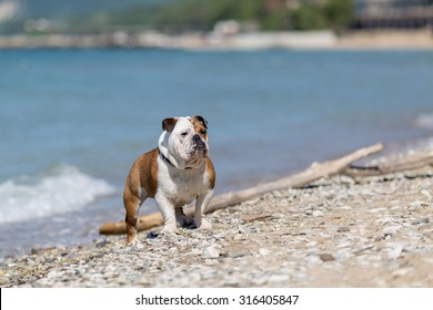 English bulldog out of the water onto the beach.