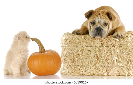 english bulldog and persian kitten sitting with bale of straw and pumpkin on white background