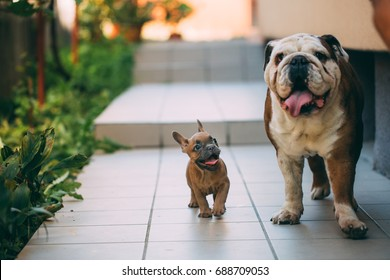English bulldog playing with an awesome french bulldog.