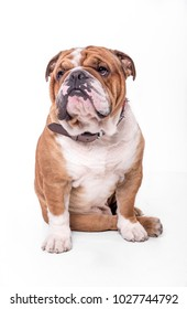 English bulldog portrait isolated on white background