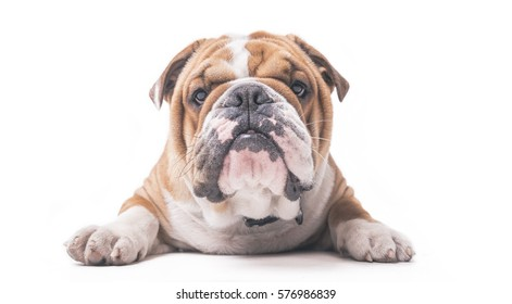 English bulldog pup isolated on white background
