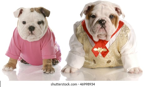English bulldog puppies dressed up as girl and boy with reflection on white background
