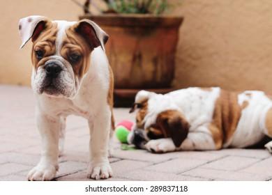 english bulldog puppies outside pavers
