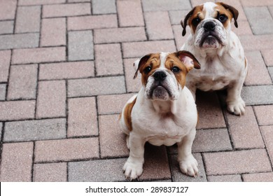 english bulldog puppies pavers copyspace