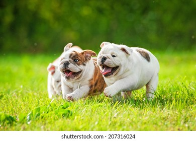 English bulldog puppies running outdoors