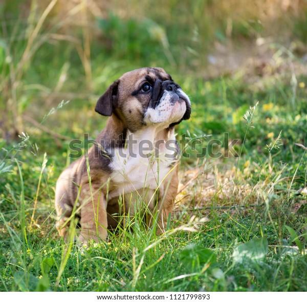English bulldog puppy 2 month  sitting on the grass