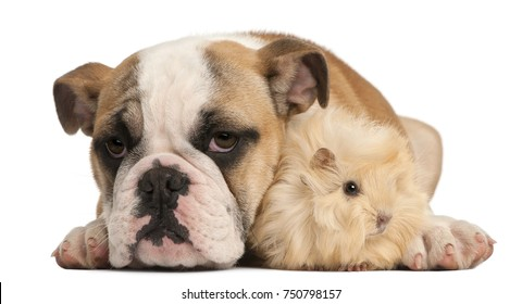 English bulldog puppy, 4 months old, and Peruvian guinea pig, 2 months old, in front of white background