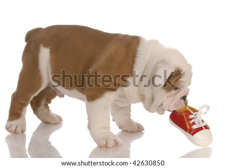 c9cab5d6 english bulldog puppy chewing on small running shoe - seven weeks old