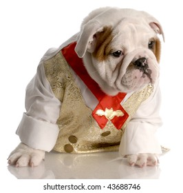 english bulldog puppy dressed up wearing shirt and tie