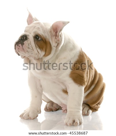 88661447 english bulldog puppy with ears standing straight up - three months old