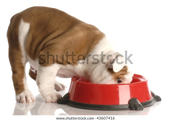 english bulldog puppy eating out of red dog food dish