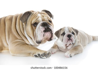 English bulldog puppy with her mother isolated