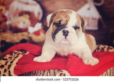 english bulldog puppy holiday log